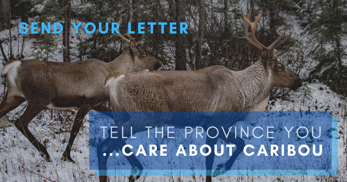 Celebrate B.C. caribou recovery action